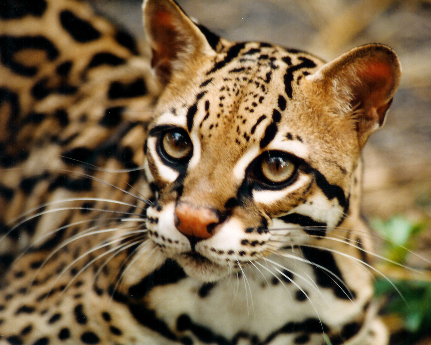 endangered ocelot killed by capitalist imperialist car